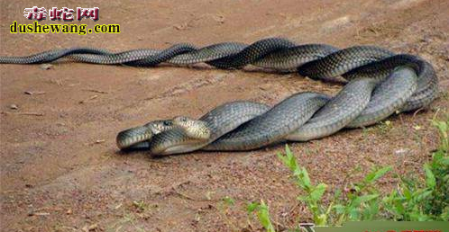 蛇の交尾3